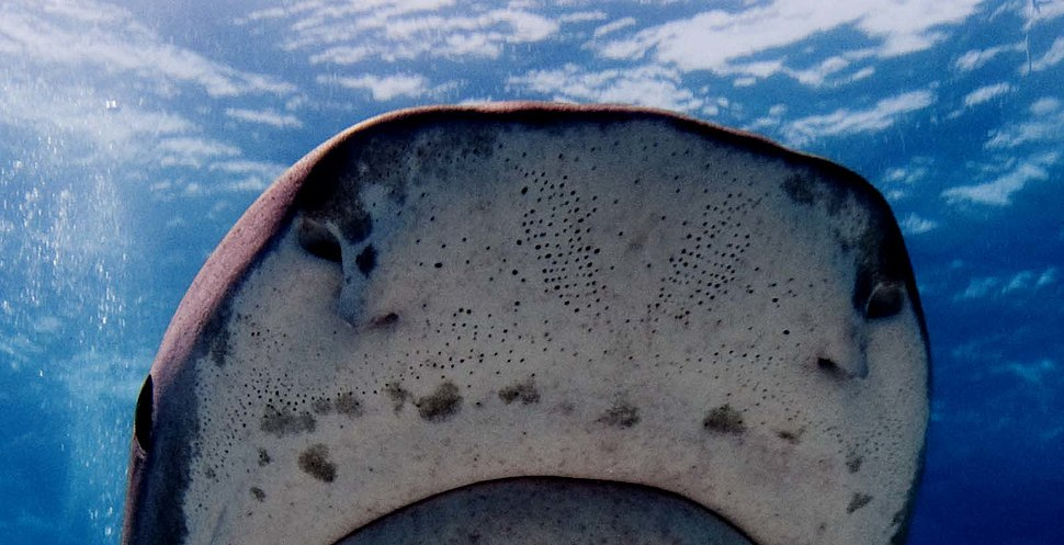 Lorenzini pores on snout of tiger shark