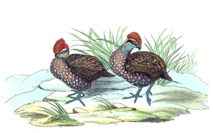 Stripe-faced wood quail - Image: Lossy page 1 2932px Odontophorus balliviani 1820 1863 Print Iconographia Zoologica Special Collections University of Amsterdam UBA01 IZ17100199