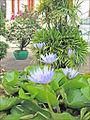 Lotus en fleur (Phnom Penh) (6998209151).jpg