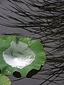 Lotus leaves (28819523041).jpg
