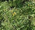 Lotus pedunculatus2 ies.jpg
