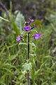 Lunaria annua - Roquebrun 01.jpg