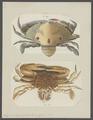 Lupea sanguinolenta - - Print - Iconographia Zoologica - Special Collections University of Amsterdam - UBAINV0274 094 20 0006.tif