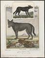 Lupus orientalis var. nigra - 1700-1880 - Print - Iconographia Zoologica - Special Collections University of Amsterdam - UBA01 IZ22200373.tif