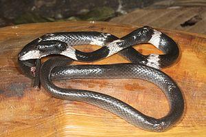 Lycodon - Lycodon subcinctus, Malayan banded wolfsnake, in Letefoho, East Timor