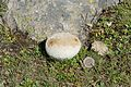 Lycoperdon utriforme on the Resciesa pasture in Val Gardena Gherdeina coin.jpg