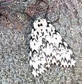 Lymantria monacha up.jpg