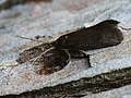 Lypusa maurella (27165064348).jpg