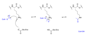 Acetylation - Lysine acetylation
