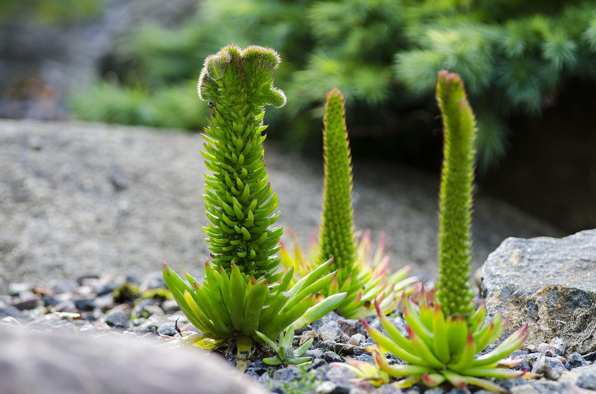 Mägitähk, rock pine, Orostachys japonica - Karl Müürsepp, CC BY-SA 4.0, via Wikimedia Commons