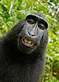 Macaca nigra self-portrait.jpg