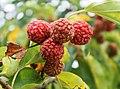 Maclura tricuspidata fruits.jpg