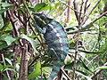 Madagascar, Chameleo 1.jpg
