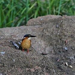 meaning of alcedo