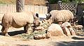 Madrid Zoo - Ceratotherium simum.jpg