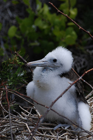 Magnificent frigatebird - Image: Magnificent Frigatebird (Fregata magnificens) chick in nest