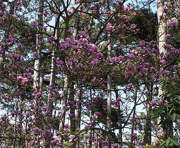 a flowering magnolia in a forest