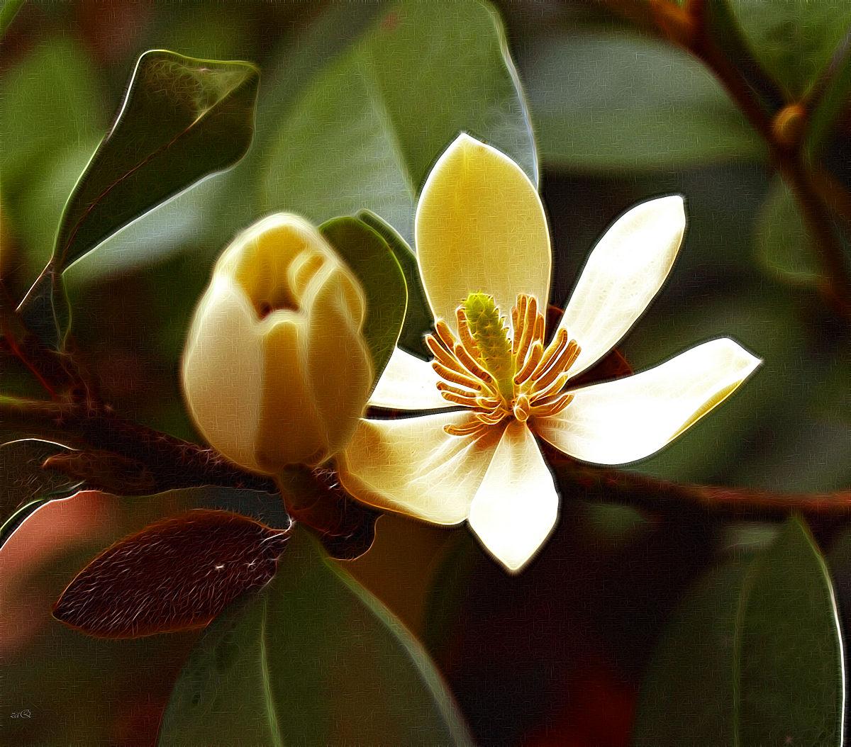 magnolia figo  u2014 wikip u00e9dia