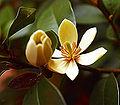 Magnolia figo.jpg