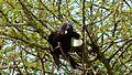 Magpie Shrike (Corvinella melanoleuca) (6006108088).jpg