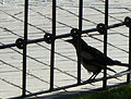 Magpie in Madrid (Spain) 02.jpg