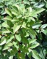 Mahonia repens - leafs (aka).jpg
