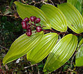 Maianthemum paniculatum (9179070749).jpg
