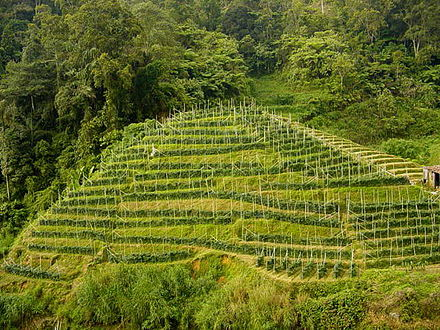 Tea plantation in Cameron Highlands, Malaysia - Plantation