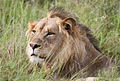 Male lion in the grass (13945486045).jpg
