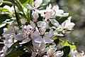 Malus floribunda 5zz.jpg