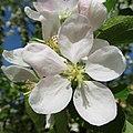 Malus in flower Яблоня цветет.jpg