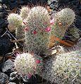 Mammillaria elongata (26230934466).jpg
