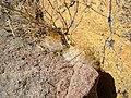 Mammillaria guelzowiana (5729974068).jpg