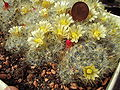 Mammillaria prolifera.with blossoms.2006-04-16.2.uellue.jpg