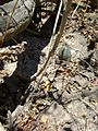 Mammillaria supertexta (5759002040).jpg