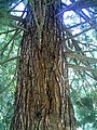 Mammutbaum in Denzlingen - panoramio.jpg