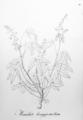 Manihot longepetiolata Pohl19.png