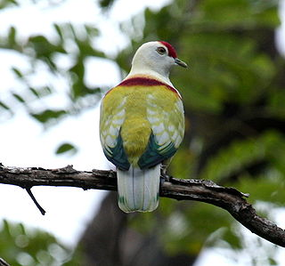 Manycoloured fruitdove male bobbys.JPG