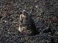 Marbled Snake Eel (Callechelys marmorata) (14225883120).jpg