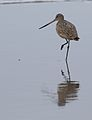 Marbled godwit, Limosa fedoa, Moss Landing (Elkhorn Slough and beach), California, USA. (30853034541).jpg