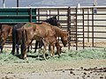 Mares and foals delivered to PVC 6-13 (7184800443) (3).jpg
