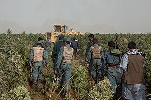 Cannabis in Afghanistan - Afghan Police eradicating cannabis in Kandahar in 2011