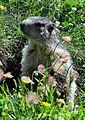 Marmotte 2014 2015 (16).JPG