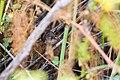 Marsh wren (35692802774).jpg
