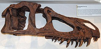 Marshosaurus - Reconstructed skull of Marshosaurus at the Carnegie Museum of Natural History, based on referred material