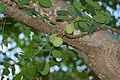 Marula (Sclerocarya birrea) fruits and leaves (16322635538).jpg