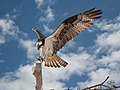 Maryland georgetown ospreys thegranary (17884525951).jpg