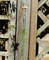 Matricaria chamomilla stem (08).jpg