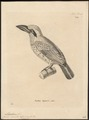 Megalaima versicolor - 1700-1880 - Print - Iconographia Zoologica - Special Collections University of Amsterdam - UBA01 IZ18800032.tif