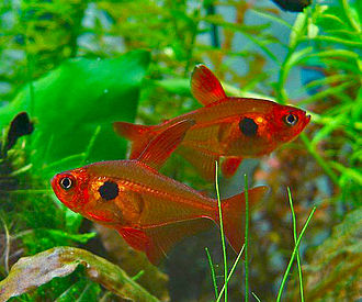 Characidae - Red phantom tetras (Hyphessobrycon sweglesi)
